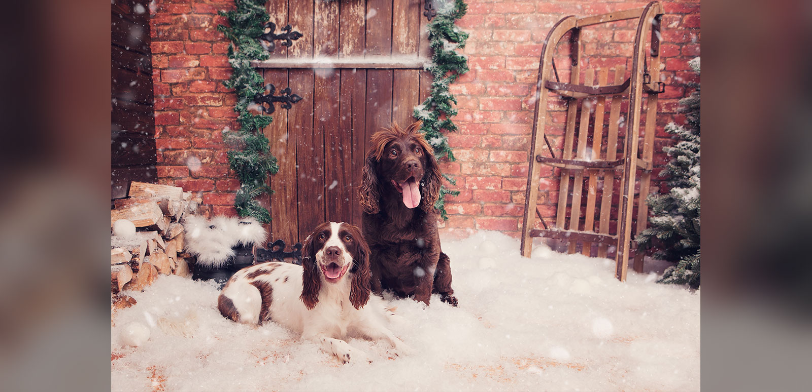 Dogs at Christmas in Cornwall